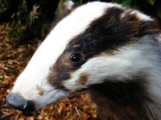 European Badger mount taxidermy   free shipping