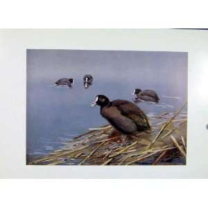 Birds Fine Art Coot Old Print Colored C1957 Antique Old
