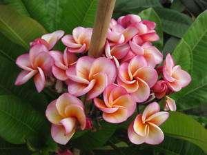 12 Cutting Fancy Plumeria Petchompoo Thai Hybrid Plant