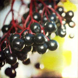 EUROPEAN ELDERBERRY Sambucus Nigra   25+EXTRA seeds. Useful