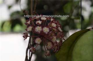 Large Hoya juanngoiana