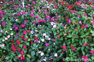 Busy Lizzy Impatiens (I. walleriana) Mixed Colors seeds