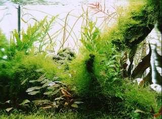 Java Moss x2   Live aquarium plant fish tank fren nana